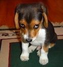 Puppy kijkt schuldbewust
