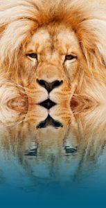Water tot aan de lippen van een leeuw