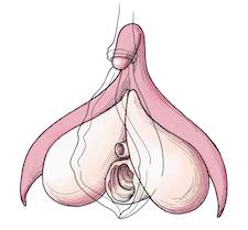 Clitoris-vagina-vulva